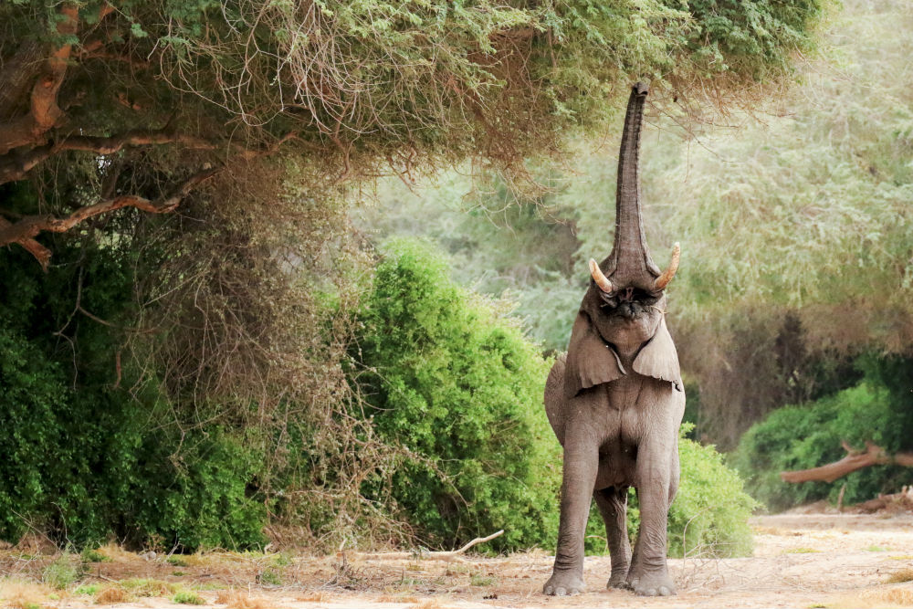 Baby elephant reaching branch
