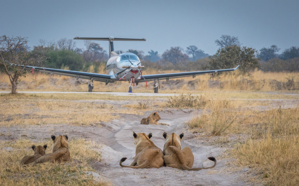 Lioness with plane